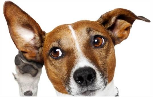 635953135626361908-634779813_whisper-dog-22028767-istock-damedeeso.jpg